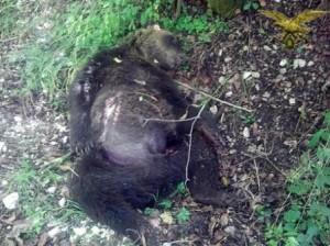 Orso marsicano ucciso nel Parco Nazionale d'Abruzzo e Molise. Foto di www.ansa.it