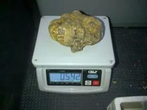 Il tartufo da 542 grammi trovato nei boschi molisani
