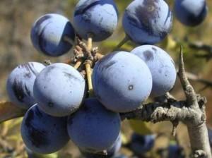 Prunus spinosa L. subsp. spinosa %285%29