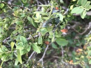 I parassiti che hanno attaccato le siepi di Villa de Capoa
