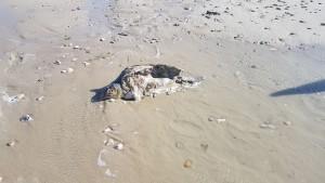 La tartaruga morta spiaggiata a Campomarino Lido