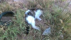gattino morto