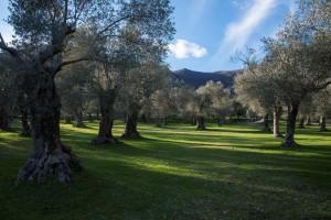 oliveto cocozza