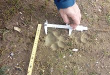 Photo of La pantera a Limosano, controlli e rilievi su orme. Trovata una pecora morta