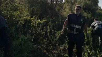 Photo of Campomarino, la Guardia di Finanza scopre 4mila piante di marijuana. Avrebbero fruttato 4 milioni di euro