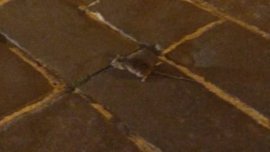 Photo of Piazza Pepe, con il caldo anche i ratti a zonzo per la città. L'indignazione dei cittadini