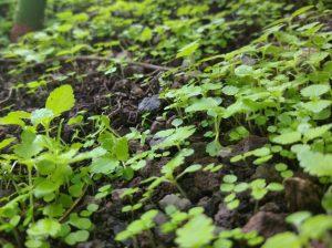Scoperto batterio che protegge le colture