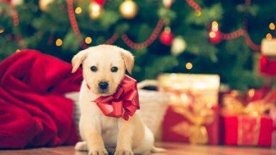Photo of Regalare un cucciolo a Natale, non sempre è la scelta giusta